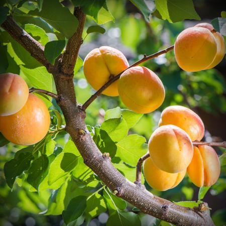 Aprium - Flavor Delight