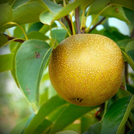 Asian Pear - 20th Century
