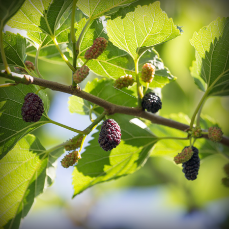 Mulberry - Black Beauty