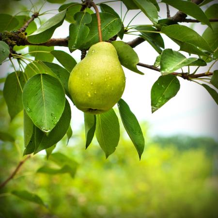 Pear - Hood