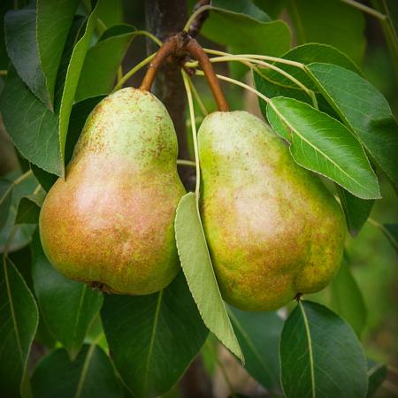 Pear - Pineapple