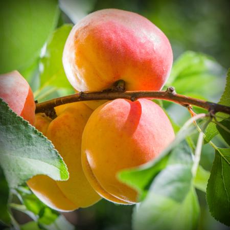 Apricot - Katy