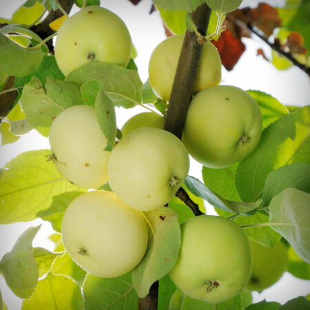 Apple - White Winter Pearmain