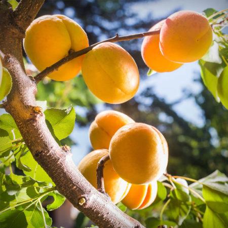 Apricot - Autumn Glo