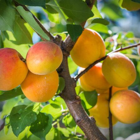 Apricot - Tropic Gold