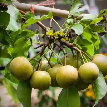 Asian Pear - Shinseiki