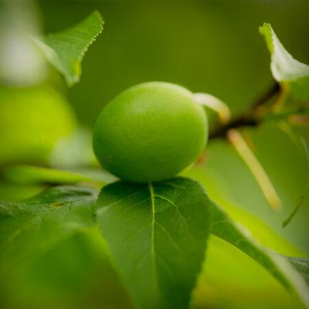 Plum - Persian Green