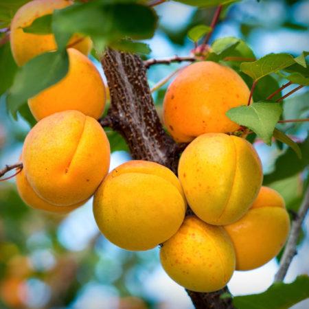Apricot - Gold Kist