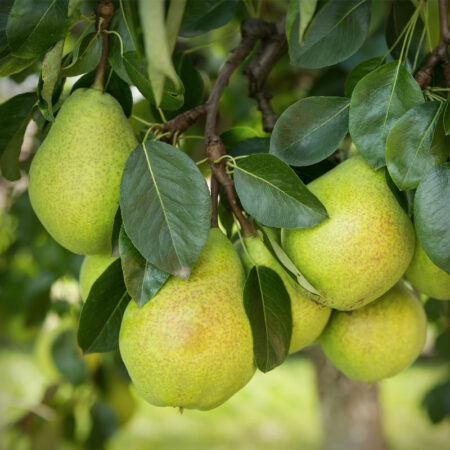Pear - Kieffer Pear