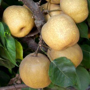 Asian Pear - Tsu Li