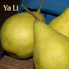 Asian Pear - Ya Li