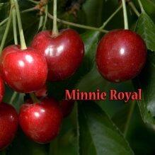 Cherry - Royal Lee
