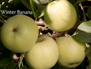Apple - Winter Bananna